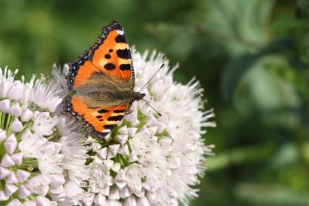 pokrzywka: Pokrzywka Motyl siedzi na biały kwiat wśród trawy