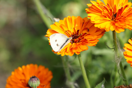 gonepteryx: The white butterfly sitting on an orange flower of a marigold
