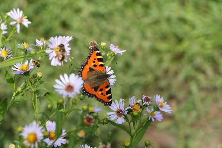 pokrzywka: Pokrzywka Motyl siedzi na kwiat wśród trawy