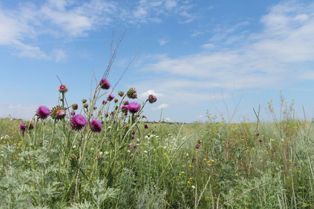 healing plant: The lilac flowers of a thistle growing in a field against the blue sky