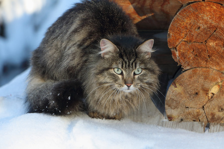watchfulness: The street cat sitting on snow near logs