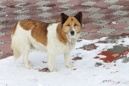watchfulness: The street dog standing on the snow-covered sidewalk in the winter