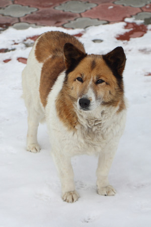 The street dog standing on the snow-covered sidewalk in the winter