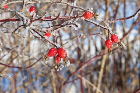 winter sky: Red berries of a dogrose in hoarfrost against trees in the winter Stock Photo
