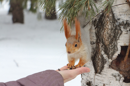 forage: The squirrel who went down from a birch to a female hand behind a forage in snow-covered park