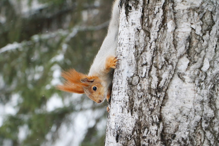 gnaw: The squirrel who is going down from a birch in spring park