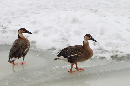 edge of the ice: The duck going on an edge of ice of the frozen lake in the spring Stock Photo