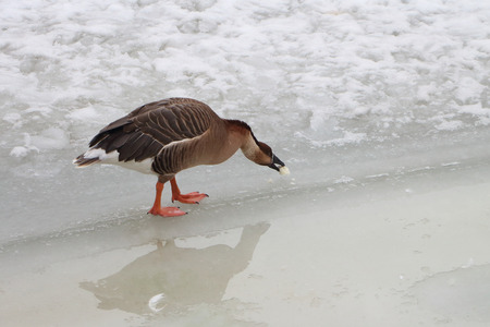 peck: The duck standing on an edge of ice of the frozen lake in the spring pecks a forage Stock Photo