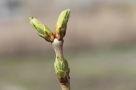 swelling: Lilac branch with swelling buds in the spring