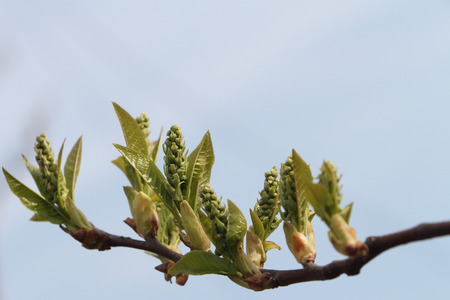 swelling: Bird cherry tree branch with swelling buds in the spring against the sky