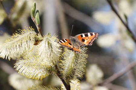 pokrzywka: Pokrzywka Motyl siedzi na kwitnących wierzby bud