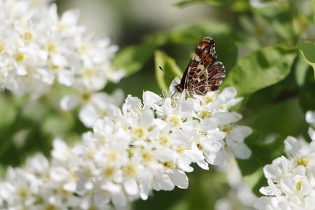 pokrzywka: Pokrzywka motyl kwitnąca wiśnia ptasia