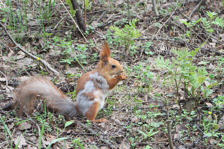 fading: The fading red squirrel in the spring wood gnawing a forage Stock Photo
