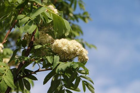 mountain ash: White inflorescence of a mountain ash in the spring against the blue sky