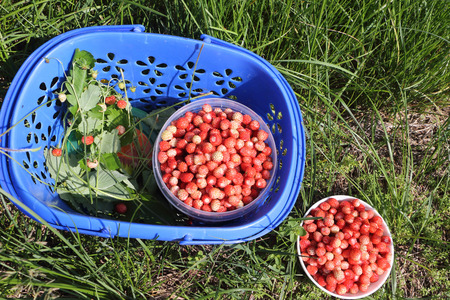 'wild strawberry: Ripe red wild strawberry in a blue plastic basket in a grass