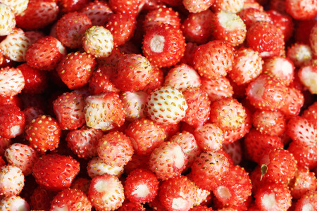 'wild strawberry: Background from red ripe wild strawberry outdoors