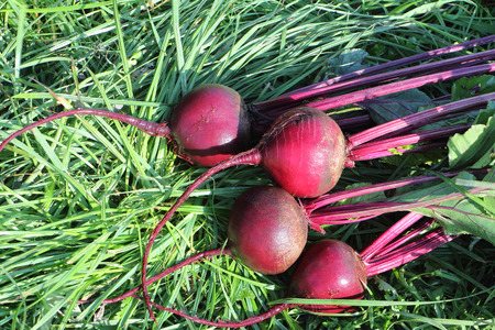 claret: The claret beet lying on a grass in a garden