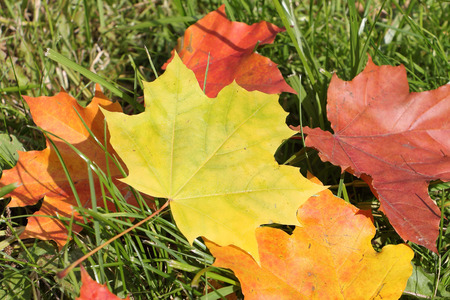 droop: The yellow leaf of a maple which fell to a grass in the fall