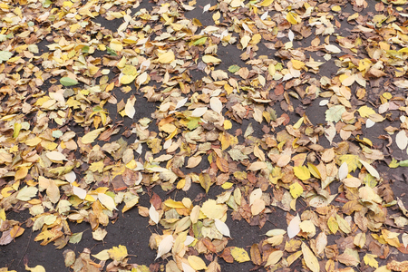 droop: Background from yellow leaves of a maple and a hawthorn on asphalt in the fall Stock Photo