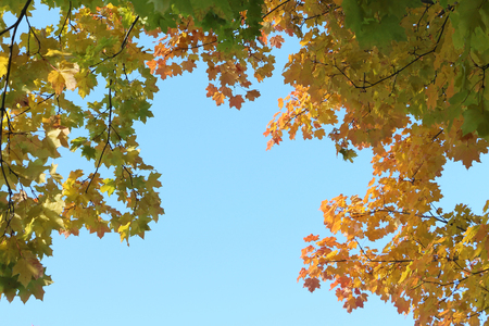Maple branches in the fall against the blue sky