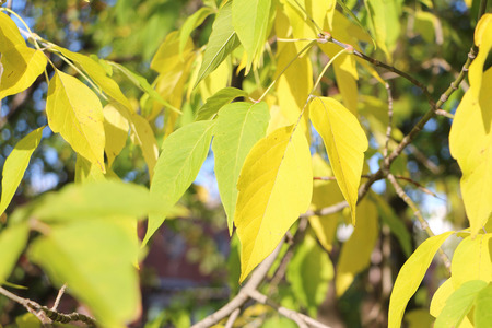 droop: The turning yellow leaf of a maple in the fall outdoors Stock Photo