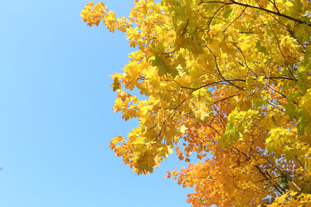 droop: Maple branches in the fall against the blue sky