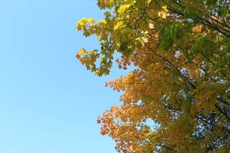 streaking: Maple branches in the fall against the blue sky