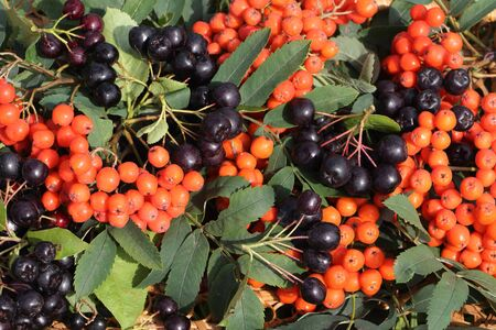 mountain ash: Background from a red mountain ash and chokeberry  with leaves