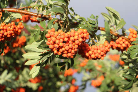 mountain ash: Mountain ash branches with berries in the fall against the blue sky