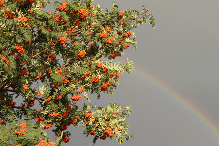 mountain ash: Mountain ash branches with berries in the fall against the gray sky and a rainbow during a rain