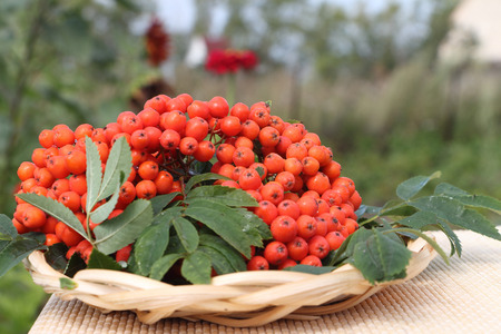 mountain ash: Plate with berries of a red mountain ash standing on a table in a garden