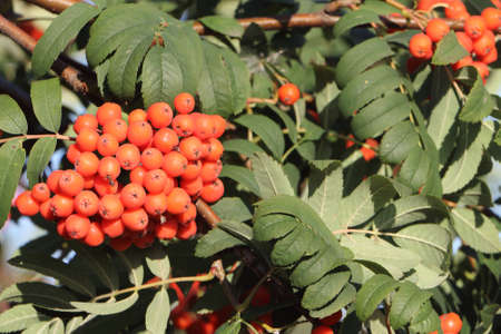 mountain ash: Mountain ash branches with berries in the fall