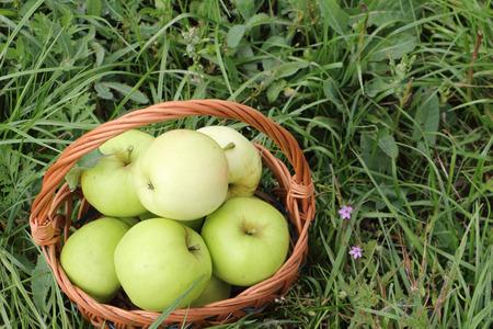 wattled: The apples lying in a wattled basket  in a garden against a green grass