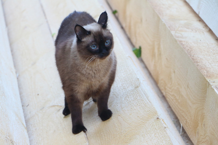 watchfulness: The Siamese cat standing on a board outdoors