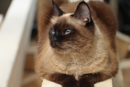watchfulness: The Siamese cat lying on a board outdoors