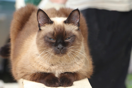 dozing: The Siamese cat dozing on a board Stock Photo