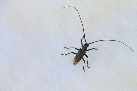 cerambycidae: Capricorn beetle on a cardboard outdoors Stock Photo