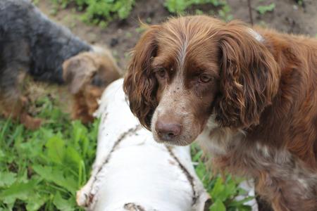 puppydog: Dog a spaniel standing on a grass outdoors Stock Photo