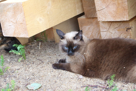 watchfulness: The Siamese cat lying near a bar outdoors