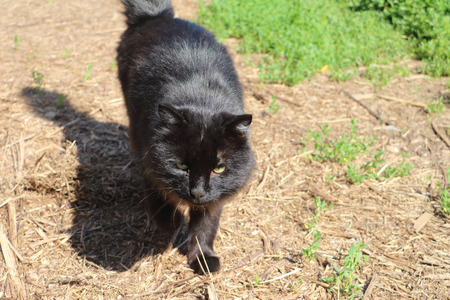 watchfulness: The black street cat going on the ground outdoors