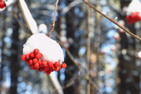 mountain ash: Mountain ash berries in snow on a branch of a tree outdoors Stock Photo