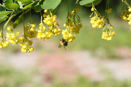 ornamental background: The bee collecting nectar on a branch of the blossoming barberry in the spring