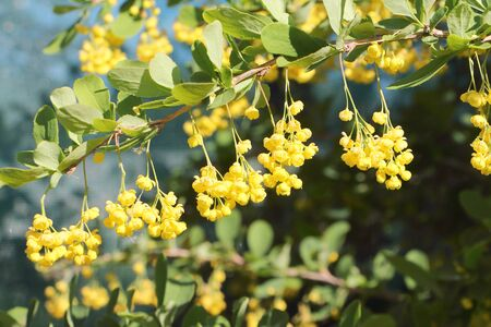 barberry: Branch of the blossoming barberry in a spring garden