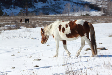 spotty: The spotty horse going from a pasture on snow among mountains in the early spring