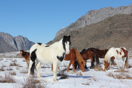 are grazed: Horses are grazed on a snow glade among mountains in the early spring