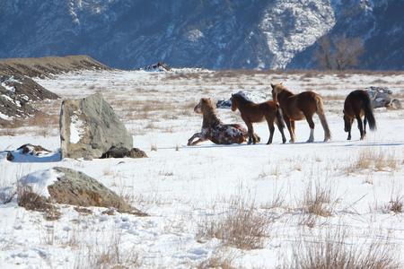 levantandose: El caballo que est� recibiendo desde la nieve en un pasto de la monta�a en el comienzo de la primavera