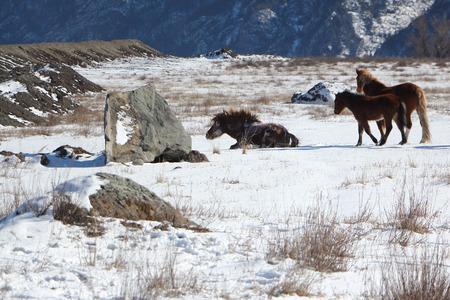 levantandose: El caballo que está recibiendo desde la nieve en un pasto de la montaña en el comienzo de la primavera