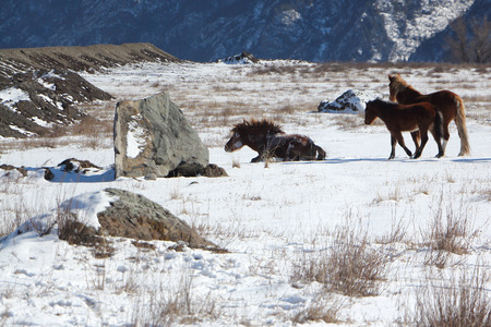 levantandose: The horse who is getting up from snow on a mountain pasture at the beginning of spring