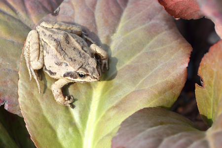 anuran: The frog sitting on a green leaf Stock Photo
