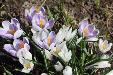 crocuses: The first blossoming crocuses in the spring in a garden